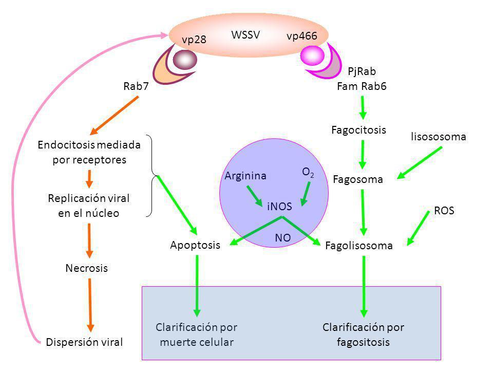 Endocitosis mediada por receptores