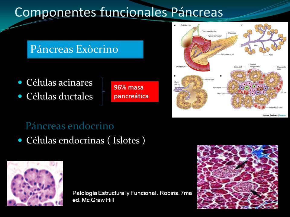 Componentes funcionales Páncreas
