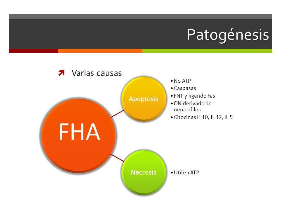 FHA Patogénesis Varias causas Apoptosis Necrosis No ATP Caspasas