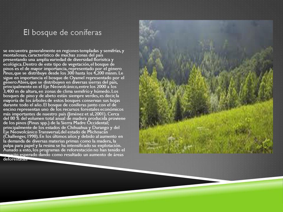 El bosque de coníferas