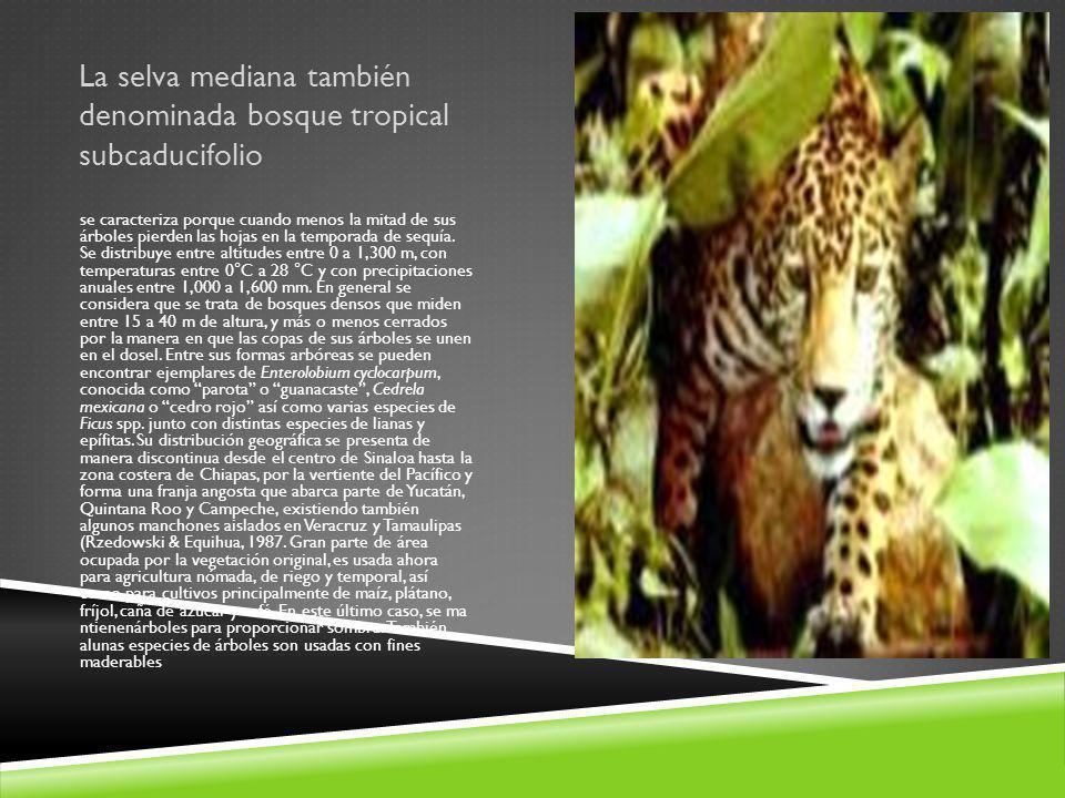 La selva mediana también denominada bosque tropical subcaducifolio