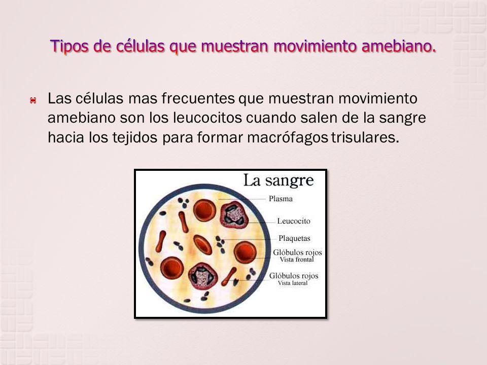 Tipos de células que muestran movimiento amebiano.