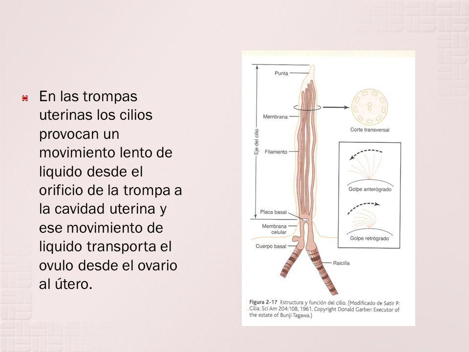 En las trompas uterinas los cilios provocan un movimiento lento de liquido desde el orificio de la trompa a la cavidad uterina y ese movimiento de liquido transporta el ovulo desde el ovario al útero.