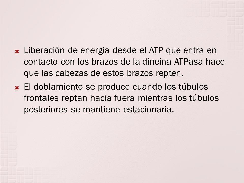 Liberación de energia desde el ATP que entra en contacto con los brazos de la dineina ATPasa hace que las cabezas de estos brazos repten.