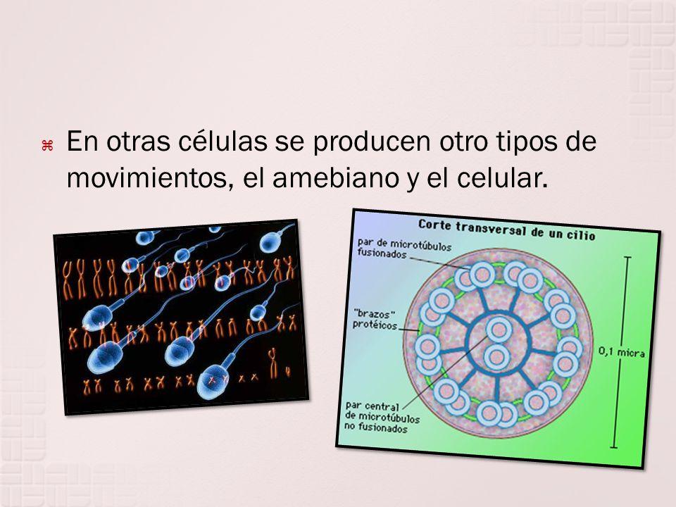 En otras células se producen otro tipos de movimientos, el amebiano y el celular.