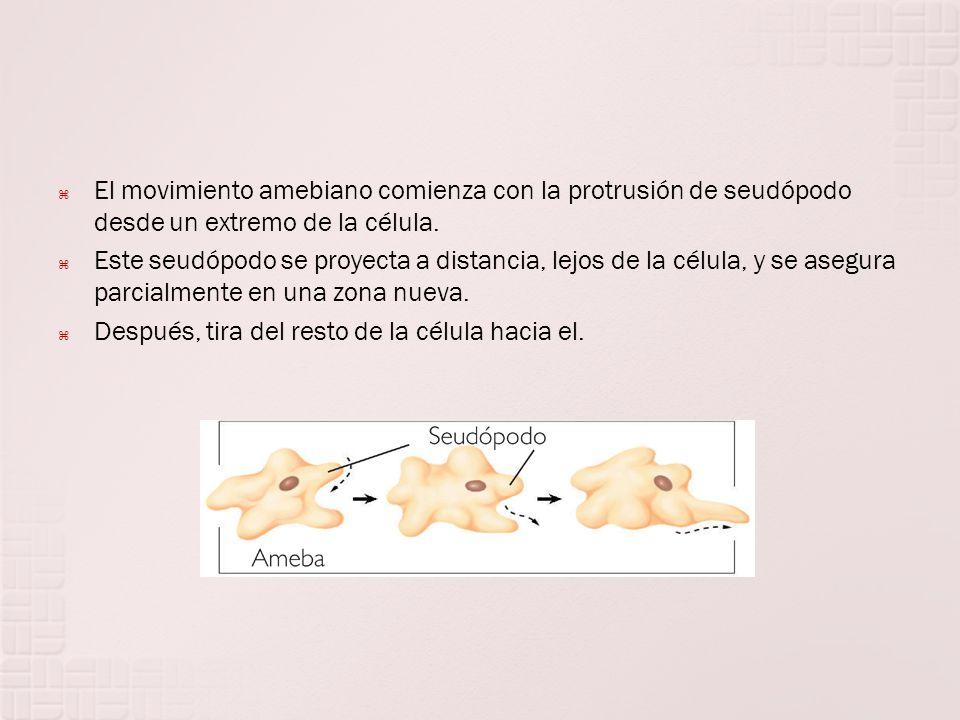 El movimiento amebiano comienza con la protrusión de seudópodo desde un extremo de la célula.