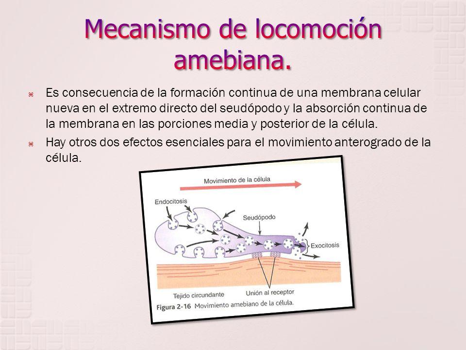 Mecanismo de locomoción amebiana.