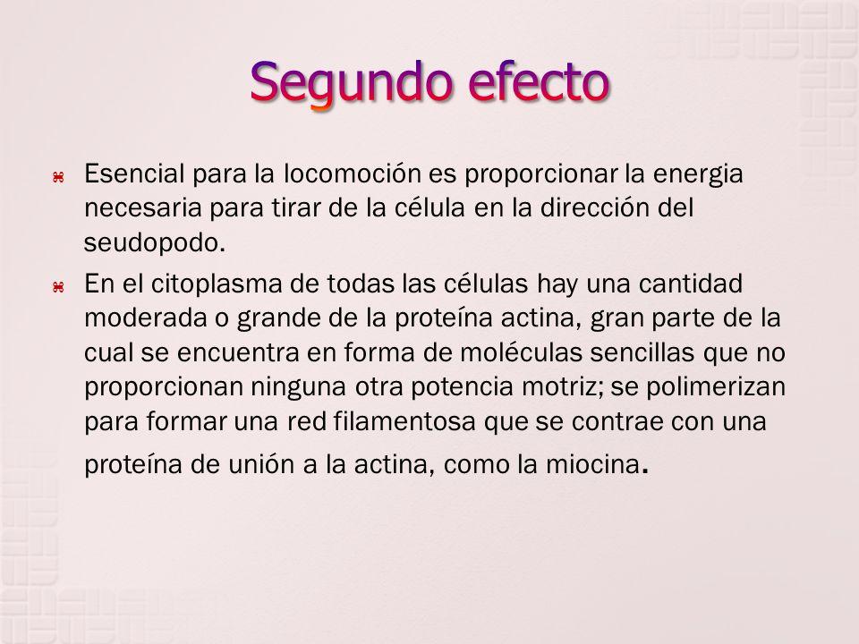 Segundo efecto Esencial para la locomoción es proporcionar la energia necesaria para tirar de la célula en la dirección del seudopodo.