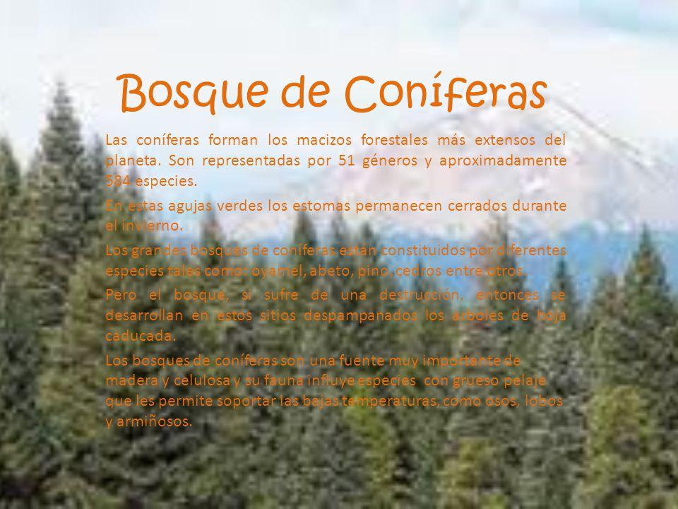 Bosque De Coníferas Las Coníferas Forman Los Macizos