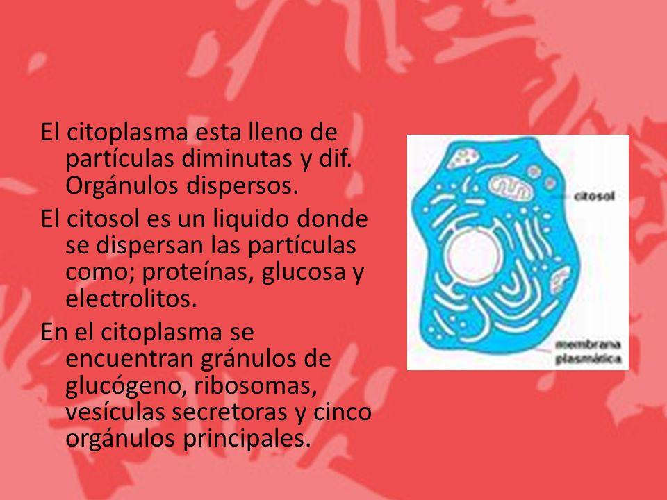 El citoplasma esta lleno de partículas diminutas y dif