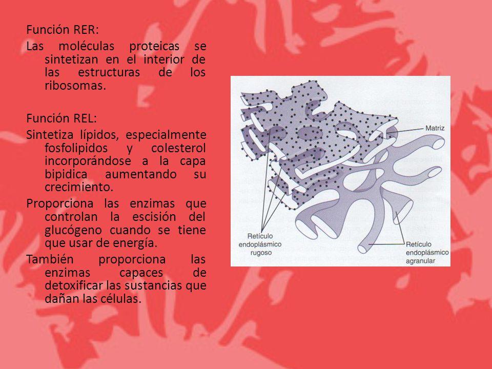 Función RER: Las moléculas proteicas se sintetizan en el interior de las estructuras de los ribosomas.