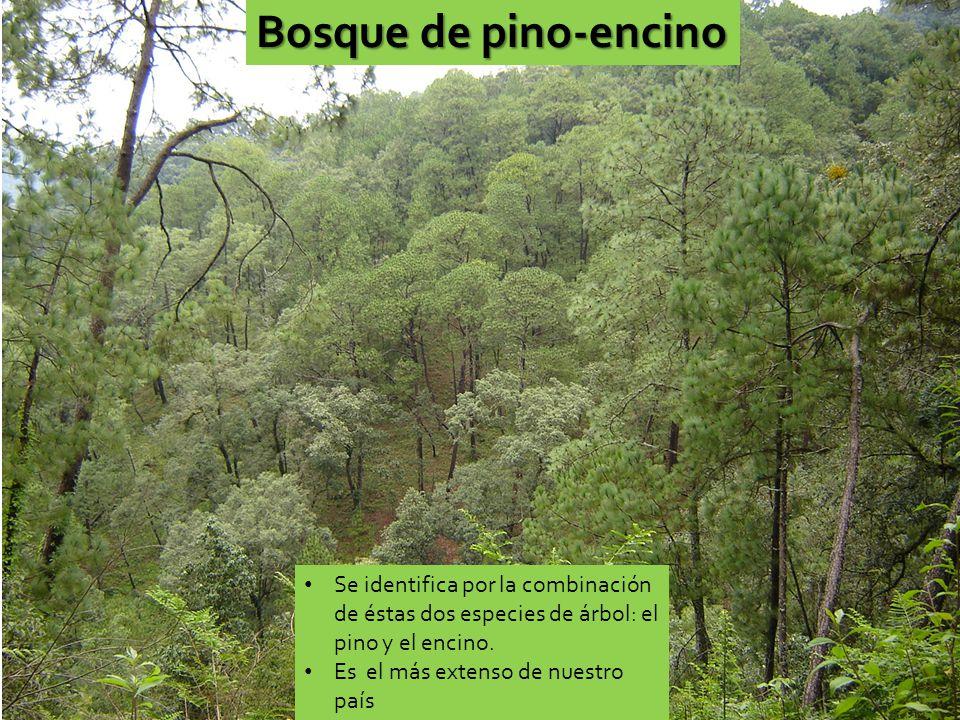Bosque de pino-encino Se identifica por la combinación de éstas dos especies de árbol: el pino y el encino.