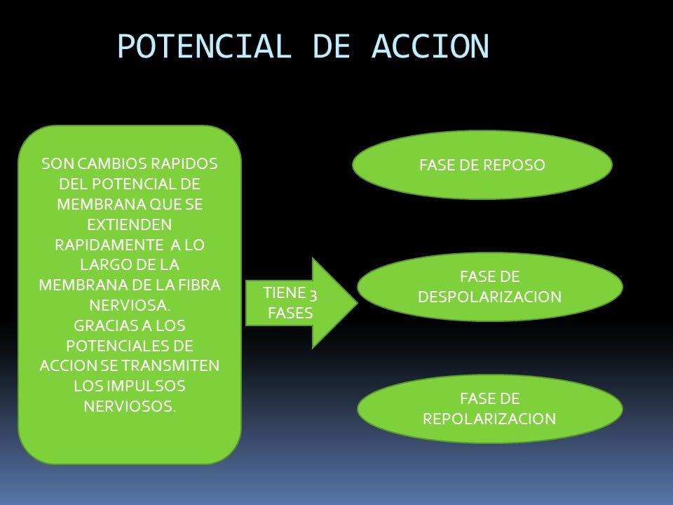 POTENCIAL DE ACCION SON CAMBIOS RAPIDOS DEL POTENCIAL DE MEMBRANA QUE SE EXTIENDEN RAPIDAMENTE A LO LARGO DE LA MEMBRANA DE LA FIBRA NERVIOSA.