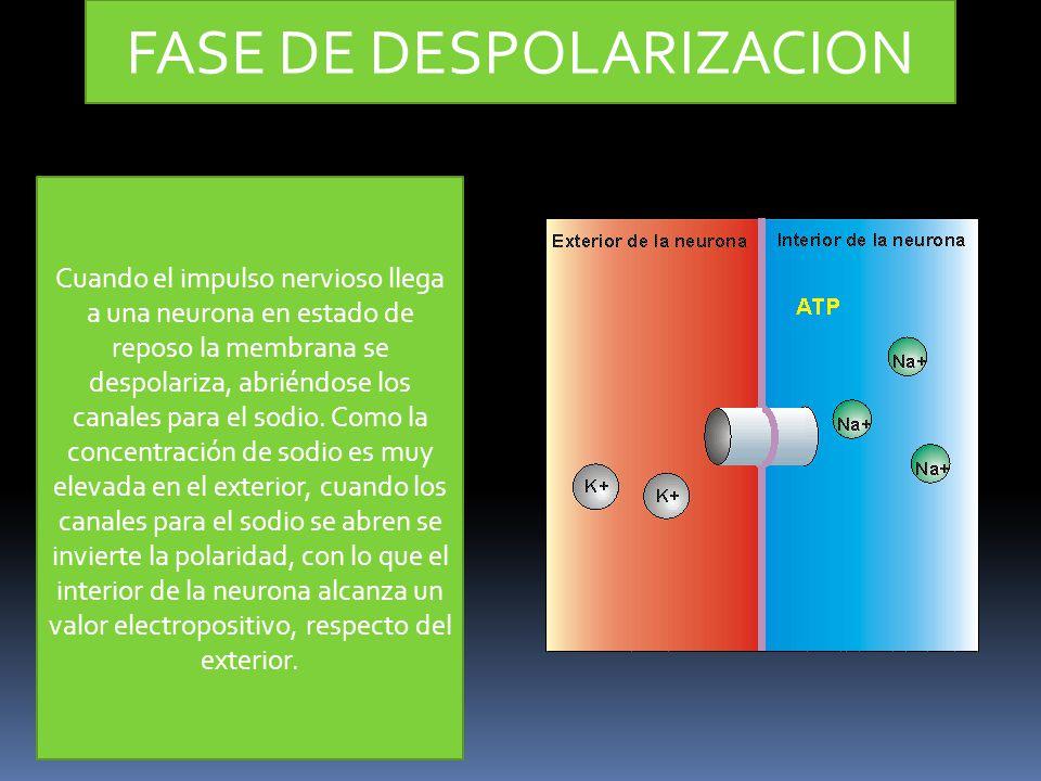 FASE DE DESPOLARIZACION