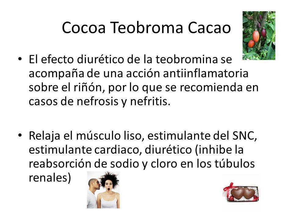Cocoa Teobroma Cacao