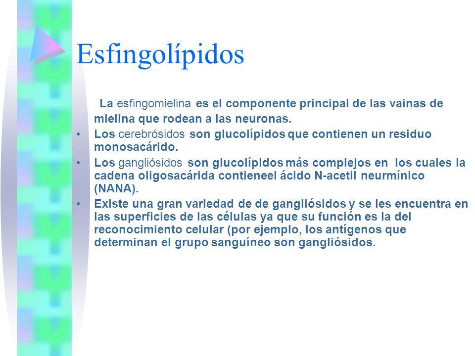 Esfingolípidos La esfingomielina es el componente principal de las vainas de mielina que rodean a las neuronas.