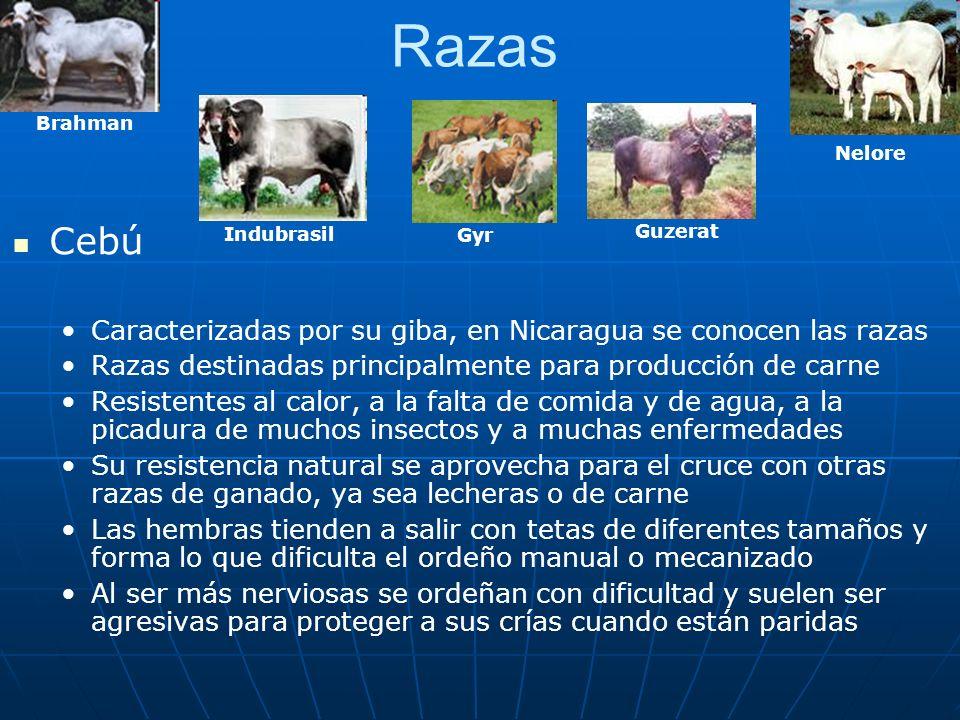 Razas Brahman. Nelore. Cebú. Caracterizadas por su giba, en Nicaragua se conocen las razas.