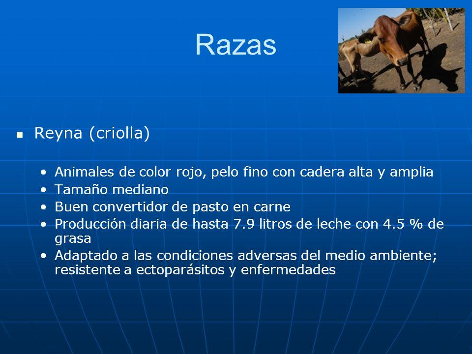 Razas Reyna (criolla) Animales de color rojo, pelo fino con cadera alta y amplia. Tamaño mediano.