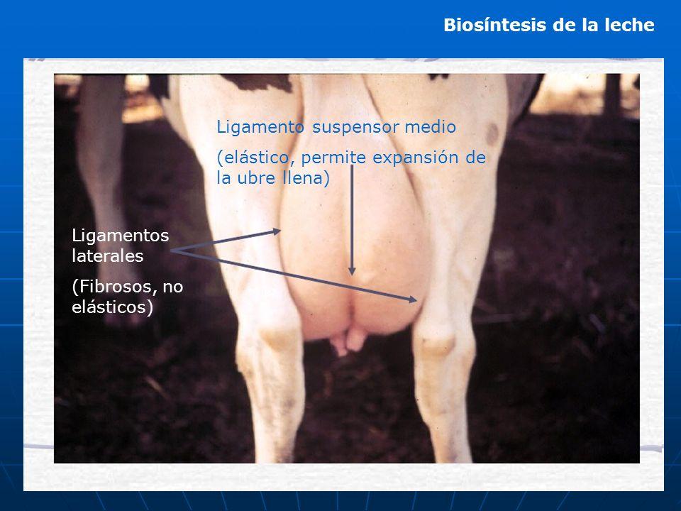 Biosíntesis de la leche