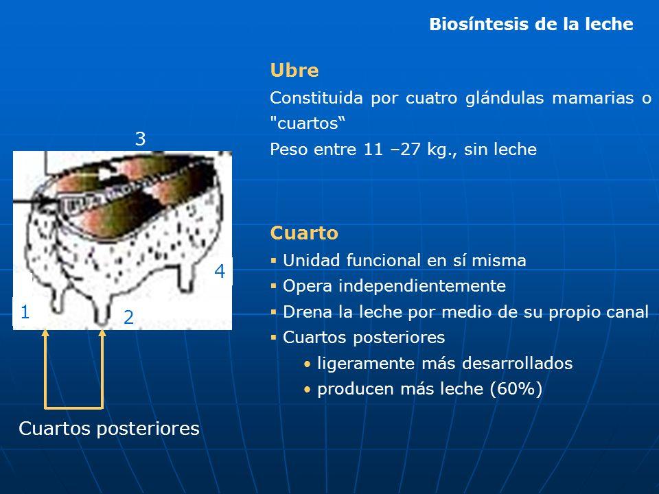 Ubre 3 Cuarto 4 1 2 Cuartos posteriores Biosíntesis de la leche