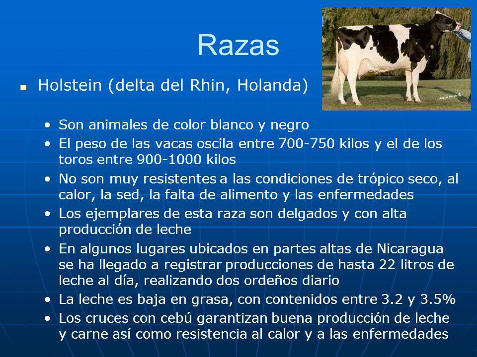 Razas Holstein (delta del Rhin, Holanda)
