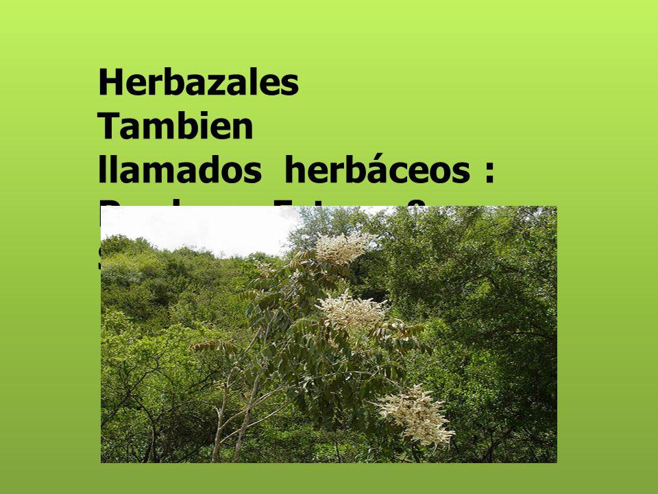 Herbazales Tambien llamados herbáceos : Praderas Estepa & Sabana