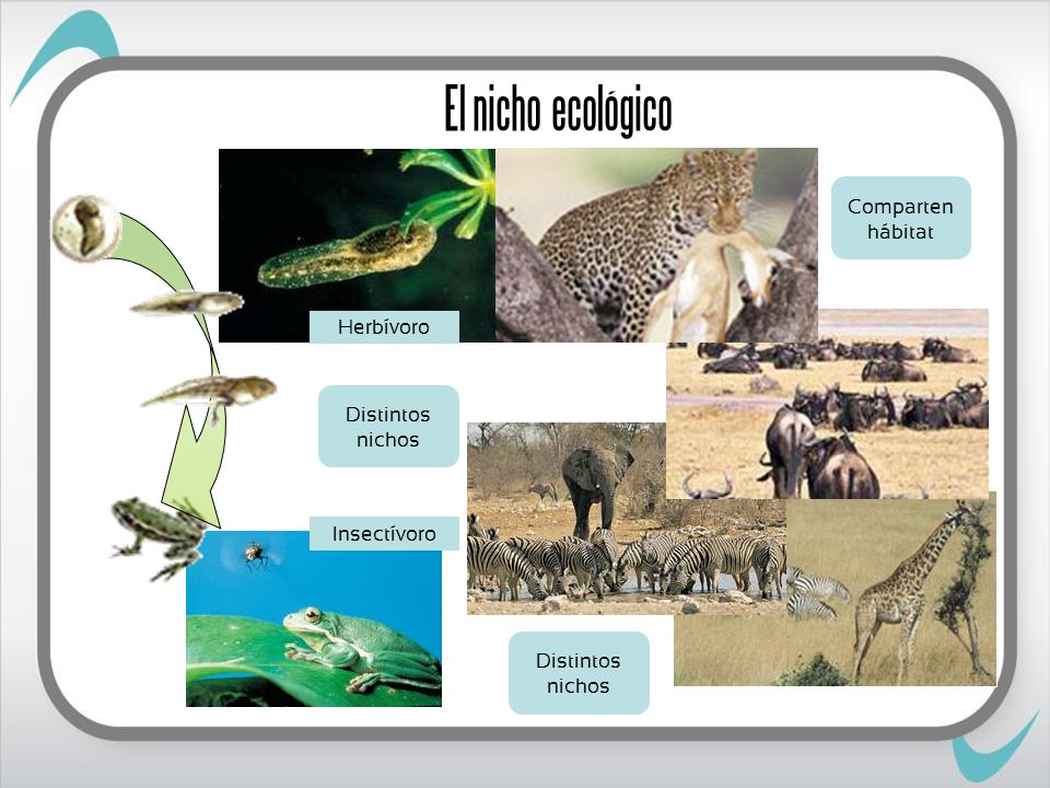 El nicho ecológico Comparten hábitat Herbívoro Distintos nichos