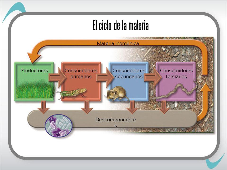 El ciclo de la materia Productores Consumidores primarios