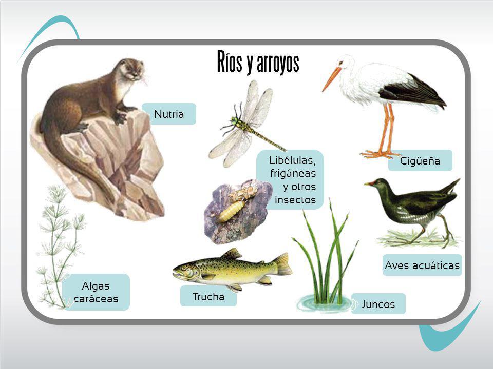 Ríos y arroyos Nutria Libélulas, frigáneas y otros insectos Cigüeña