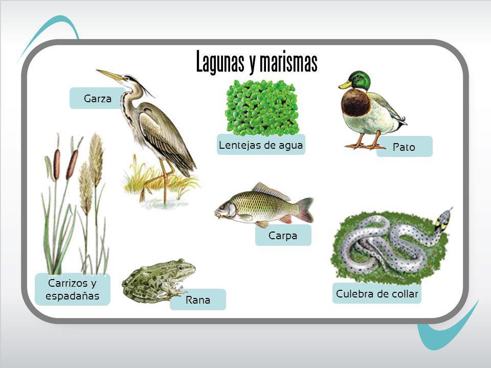 Lagunas y marismas Garza Lentejas de agua Pato Carpa