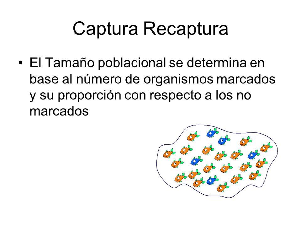 Captura Recaptura El Tamaño poblacional se determina en base al número de organismos marcados y su proporción con respecto a los no marcados.