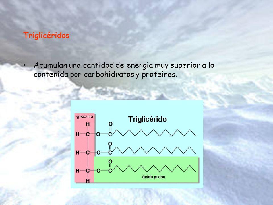 Triglicéridos Acumulan una cantidad de energía muy superior a la contenida por carbohidratos y proteínas.
