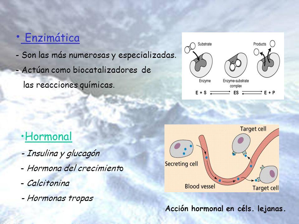 Enzimática Hormonal Son las más numerosas y especializadas.
