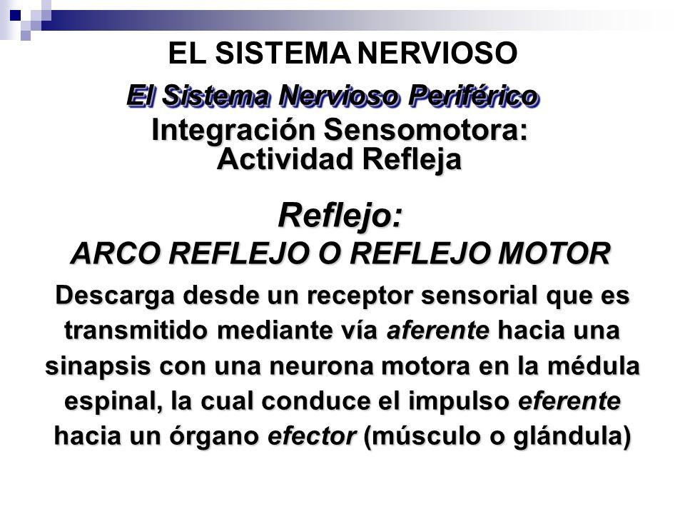 Reflejo: EL SISTEMA NERVIOSO Integración Sensomotora: