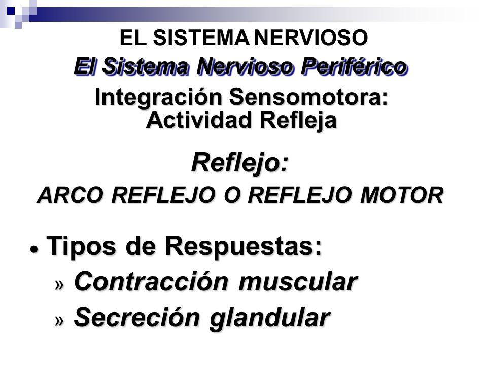 Reflejo: Tipos de Respuestas: Contracción muscular Secreción glandular