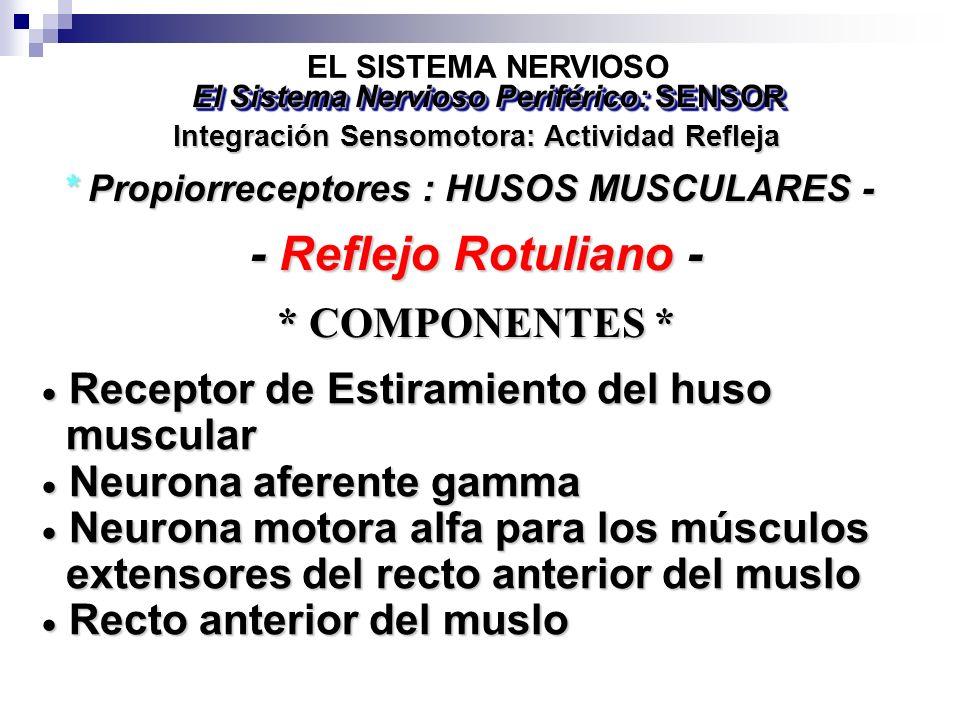 - Reflejo Rotuliano - * COMPONENTES *