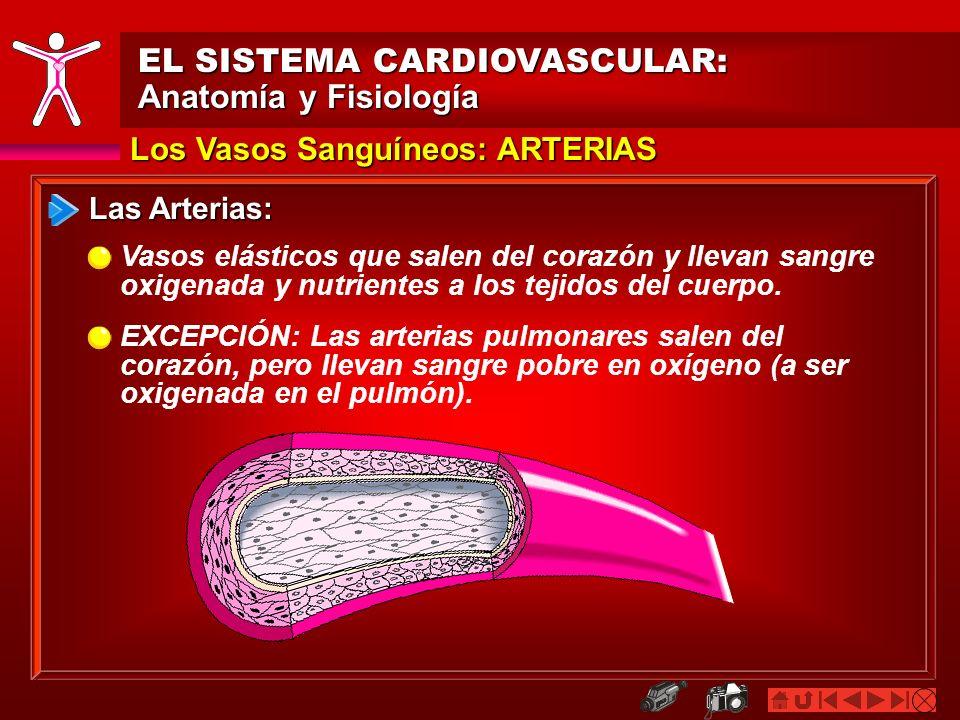 EL SISTEMA CARDIOVASCULAR: Anatomía y Fisiología