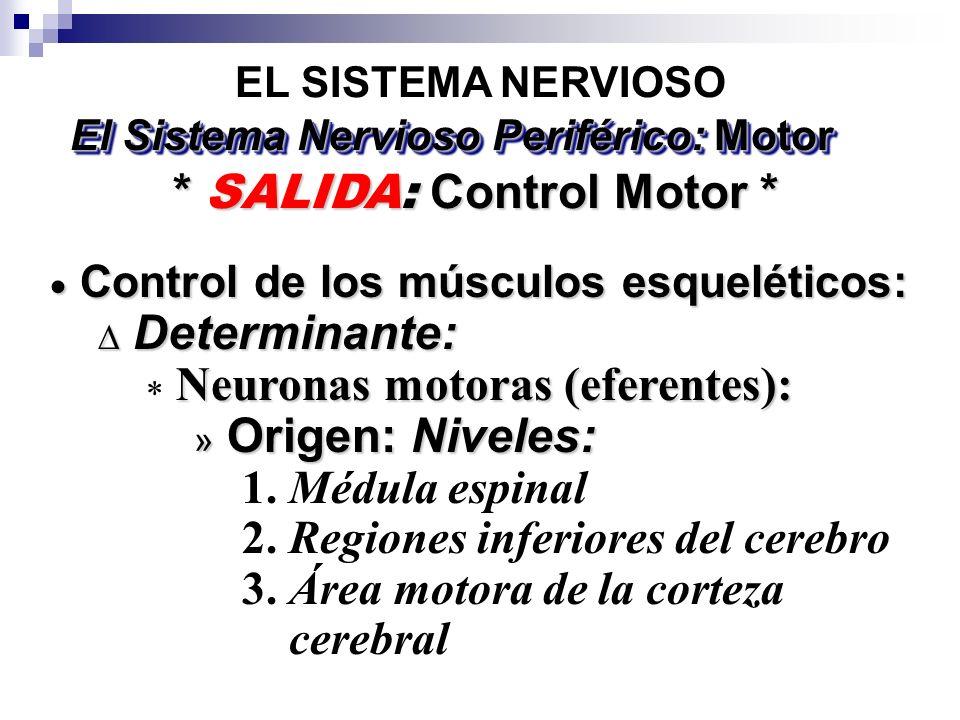 El Sistema Nervioso Periférico: Motor * SALIDA: Control Motor *