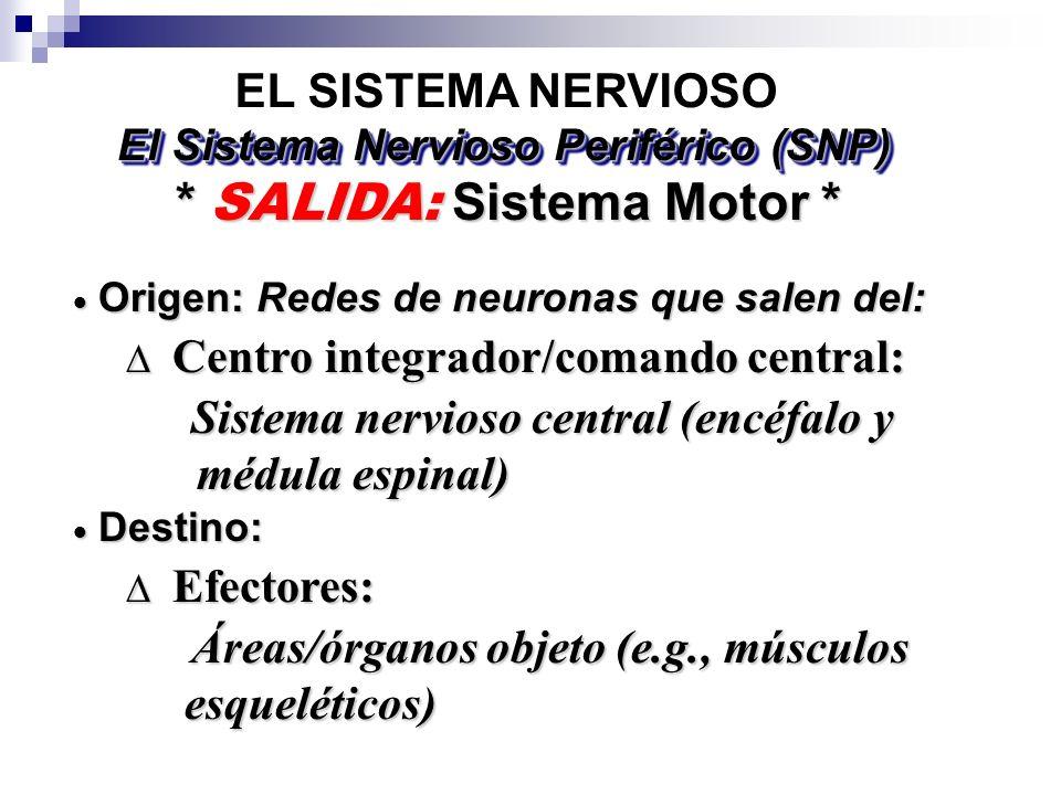 El Sistema Nervioso Periférico (SNP) * SALIDA: Sistema Motor *
