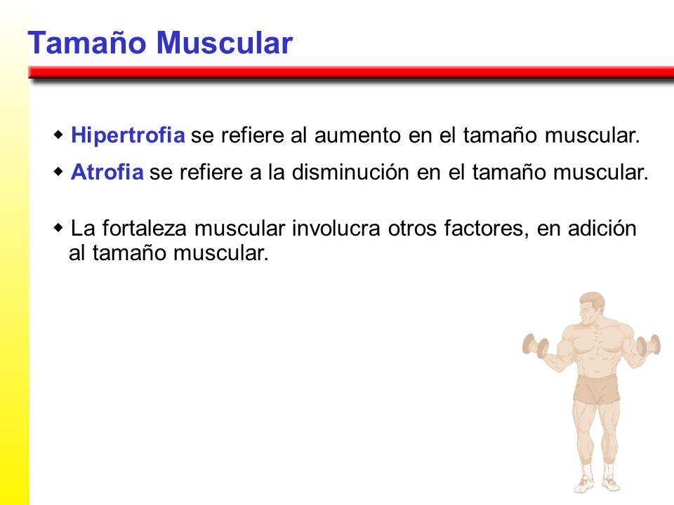 Tamaño Muscularw Hipertrofia se refiere al aumento en el tamaño muscular. w Atrofia se refiere a la disminución en el tamaño muscular.