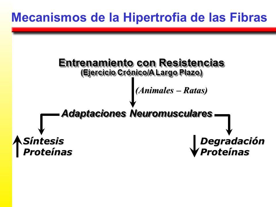 Mecanismos de la Hipertrofia de las Fibras