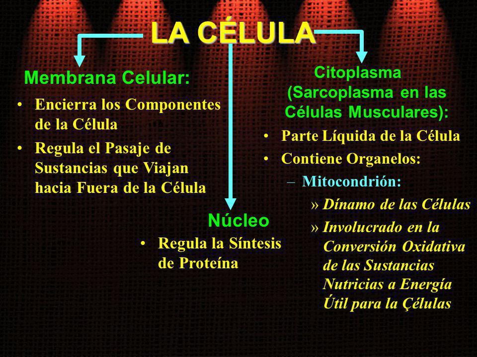 Citoplasma (Sarcoplasma en las Células Musculares):