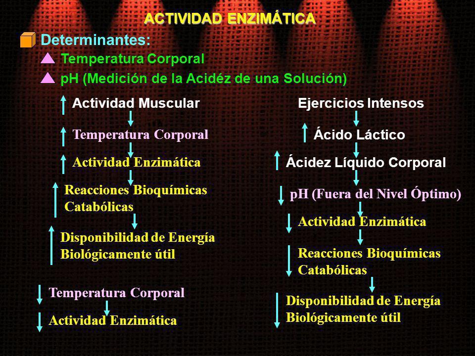 Determinantes: ACTIVIDAD ENZIMÁTICA Temperatura Corporal