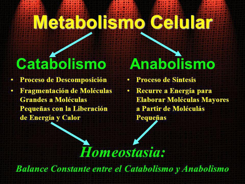 Balance Constante entre el Catabolismo y Anabolismo