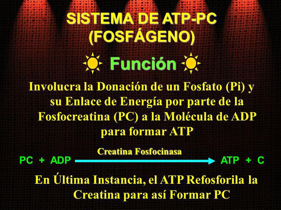 En Última Instancia, el ATP Refosforila la Creatina para así Formar PC