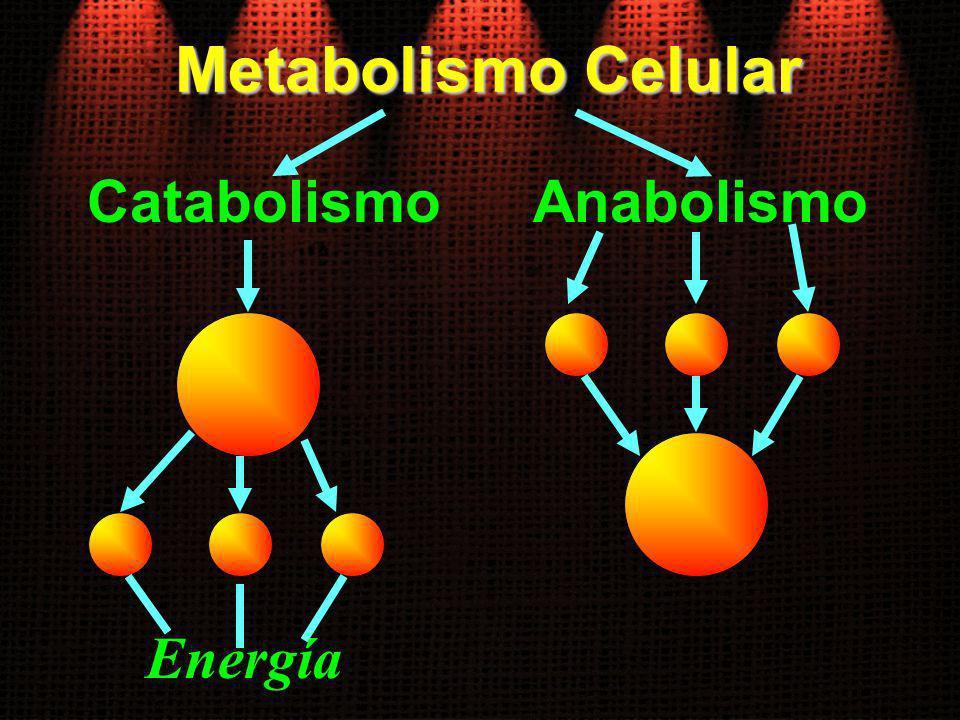 Metabolismo Celular Catabolismo Anabolismo Energía