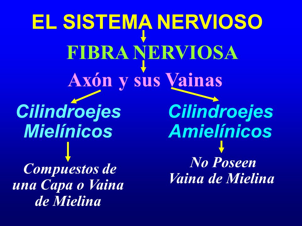 EL SISTEMA NERVIOSO FIBRA NERVIOSA Cilindroejes Mielínicos