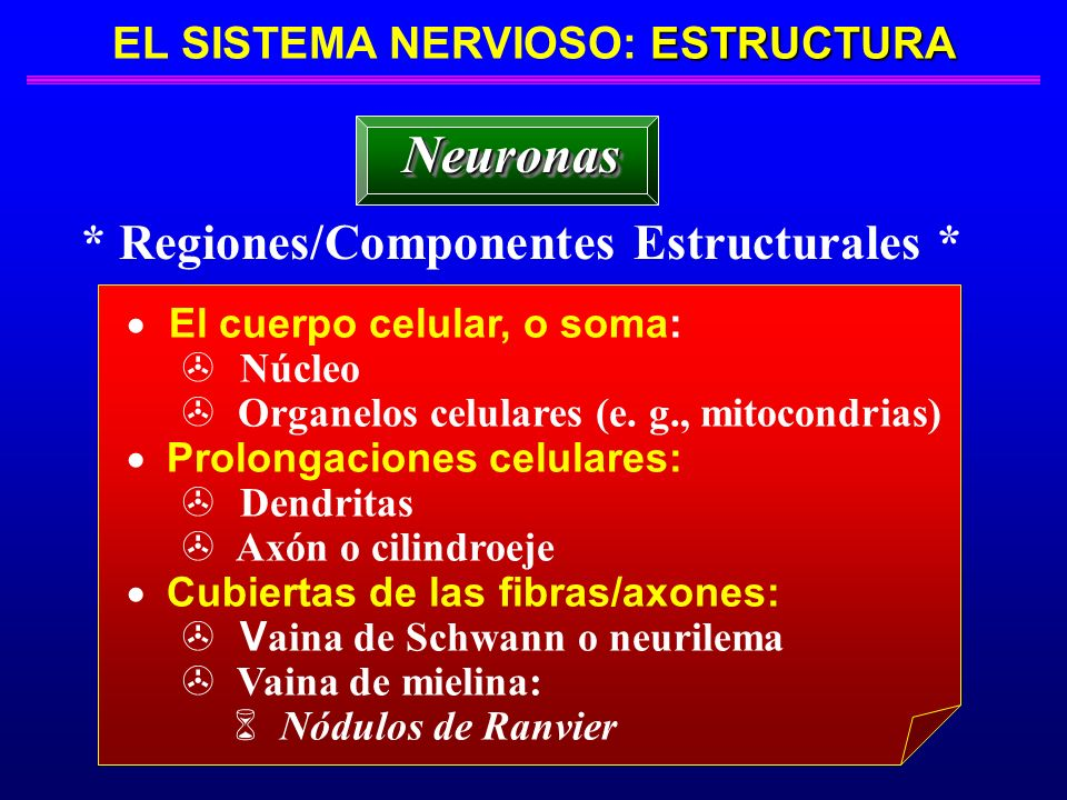 EL SISTEMA NERVIOSO: ESTRUCTURA * Regiones/Componentes Estructurales *