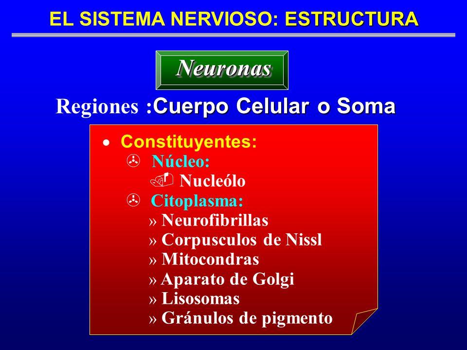 EL SISTEMA NERVIOSO: ESTRUCTURA Regiones :Cuerpo Celular o Soma