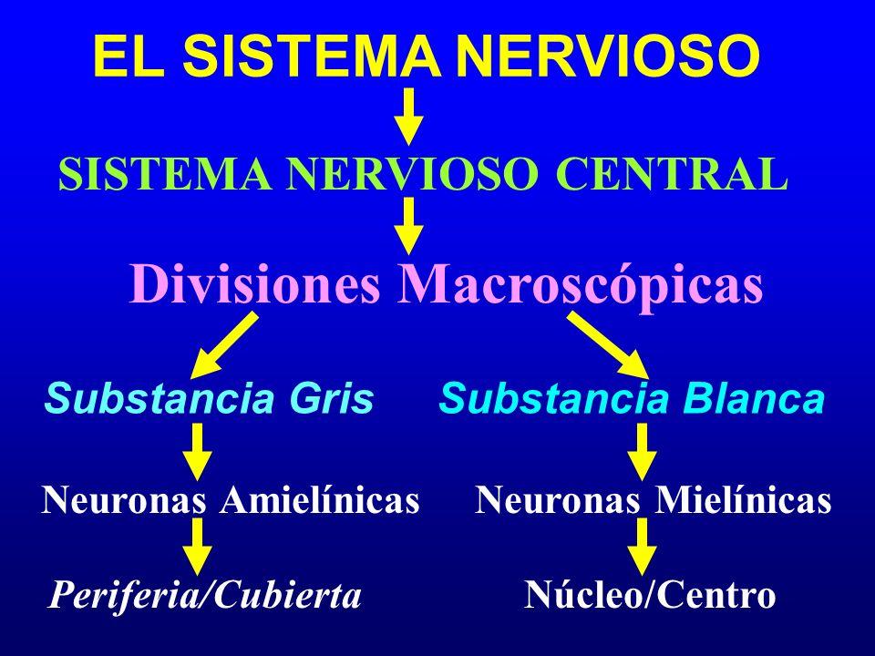 SISTEMA NERVIOSO CENTRAL Divisiones Macroscópicas